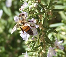 Honey Bee, Apis Mellifica