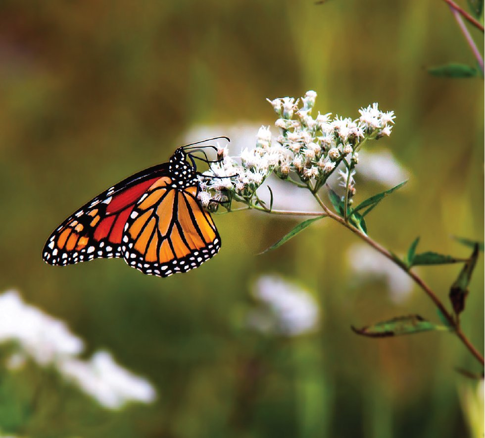 monarch-butterfly-garden-plants